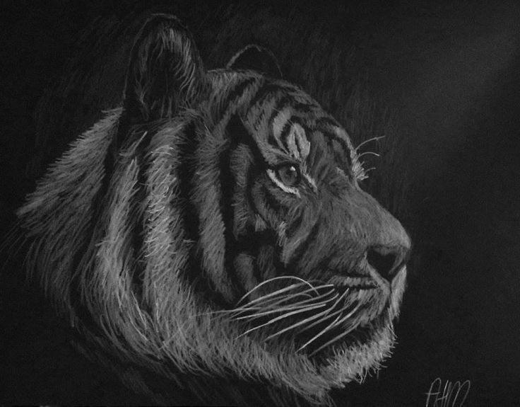 Tiger white pencil on black paper