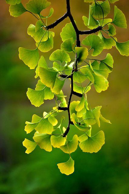 J'adore la forme et la couleur des feuilles de ginkgo biloba.