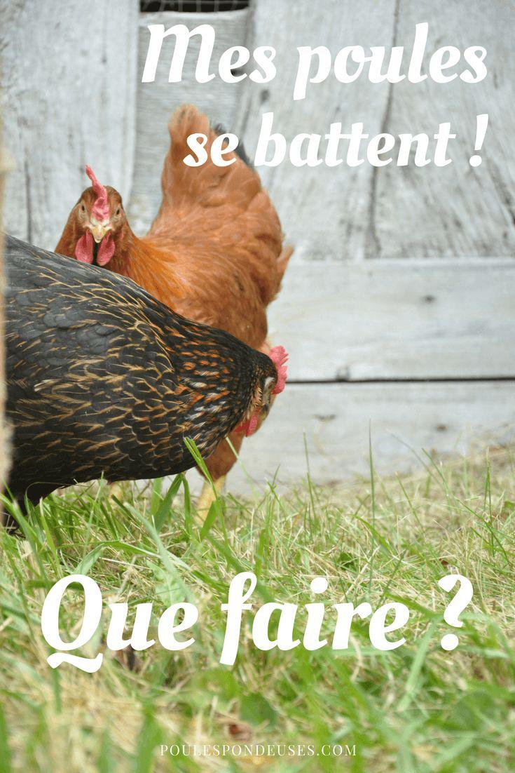 Assurez-vous que les poules disposent de suffisamment d'espace pour que la nouvelle puisse facilement se mettre à l'écart pour éviter les brimades.