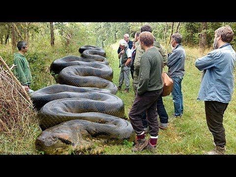 Top 20 Giant Anaconda - What is the biggest Anaconda ...