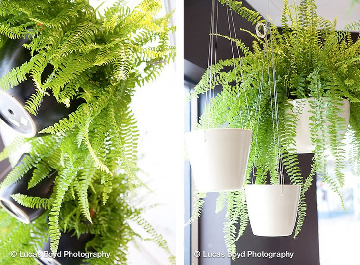More Glorious Hanging Boston Ferns From Garden Life In Sydney. Via Wee  Birdy. #