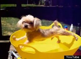 Spiderdog? Shih Tzu Turns Spiderman When Faced With A Bath (Video)
