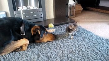 New GIF tagged dogs, cats, cat s via Giphy http://ift.tt/1bvHoRU