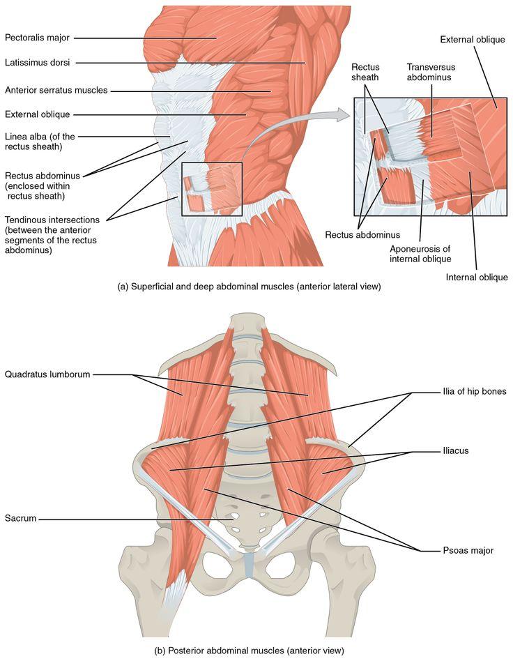 89 best Human Anatomy images on Pinterest   Human anatomy, The human ...