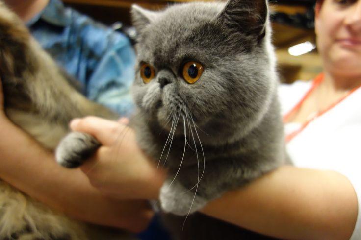 Un beau chat de race Persan-Exotic shorthair gris, très calin pris par Assur O'Poil LA Mutuelle Animaux pendant le salon Animal Expo. Venez découvrir plus d'information sur la race http://www.assuropoil.fr/races-de-chats/exotic-shorthair/