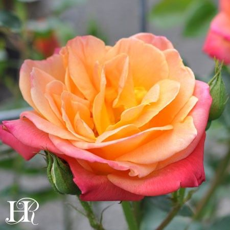 flowers rose and old garden roses You are certain to find out the right red roses bouquet at winni red rose flowers bouquets are unmatched and unparalleled in its beauty and  old garden roses.