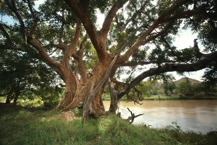 sycamore fig tree images - Google Search