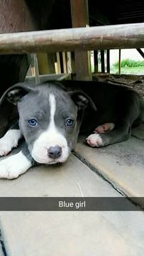 American Pit Bull Terrier puppy for sale in COLUMBIA, MD. ADN-35831 on PuppyFinder.com Gender: Female. Age: 9 Weeks Old
