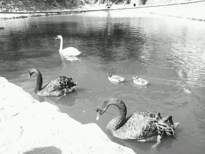Black swans- houseatheart.blogspot.ro