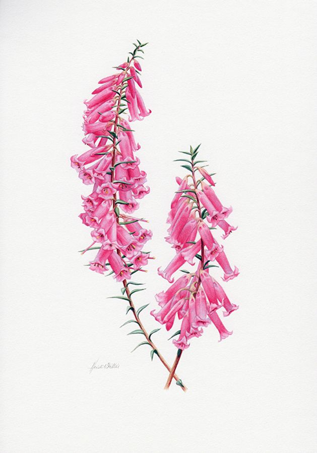 Common Heath Botanische illustratie ~ Australian Geographic Magazine Issue 130-0