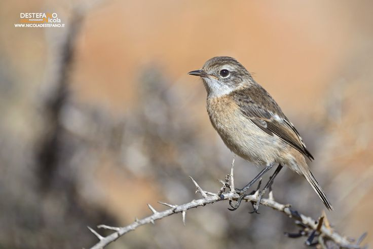 https://flic.kr/p/MtHWiv | Canary Islands Stonechat | Saxicola dacotiae…