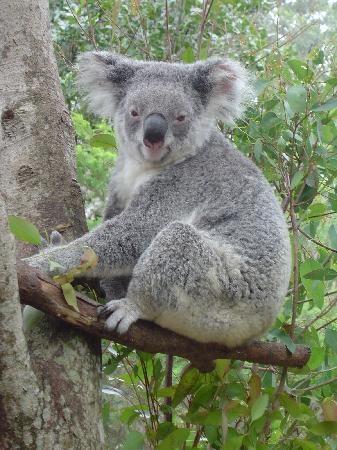 #airnzsunshine  Gotta cuddle a Koala when in the GC