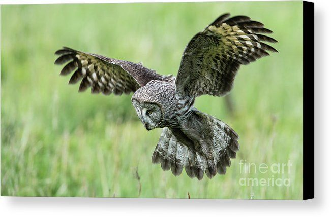 Great Grey's Focused Gaze  Great Grey Owl (Strix Nebulosa) focused on and close to the target by Torbjorn Swenelius