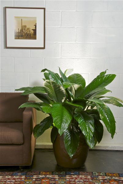 17 best ideas about large indoor plants on pinterest tropical house plants indoor plant. Black Bedroom Furniture Sets. Home Design Ideas