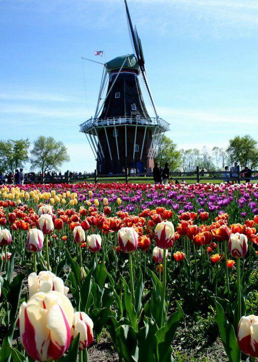 DeZwaan Wind Mill and Tulips, Holland, MI - Tulip Festival.