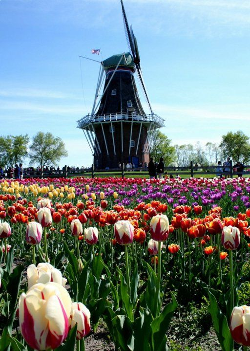 Wind Mill and Tulips, Holland, Michigan