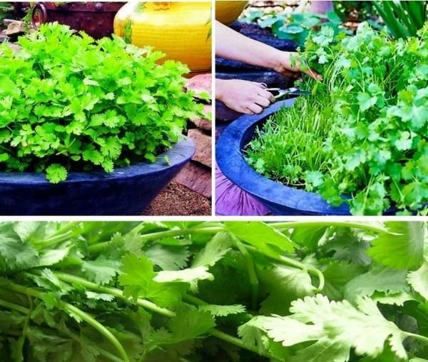 How to Grow a Cilantro Plant for your Kitchen