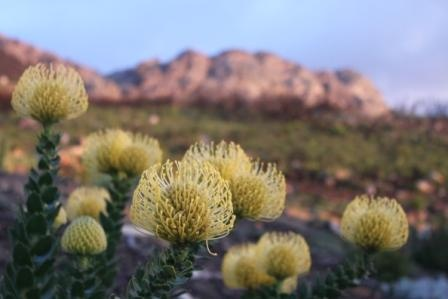 Leucospermum cordifolium flowers at Bezweni Lodge, Sir Lowrys Pass, Sommerset West by Renee Tee