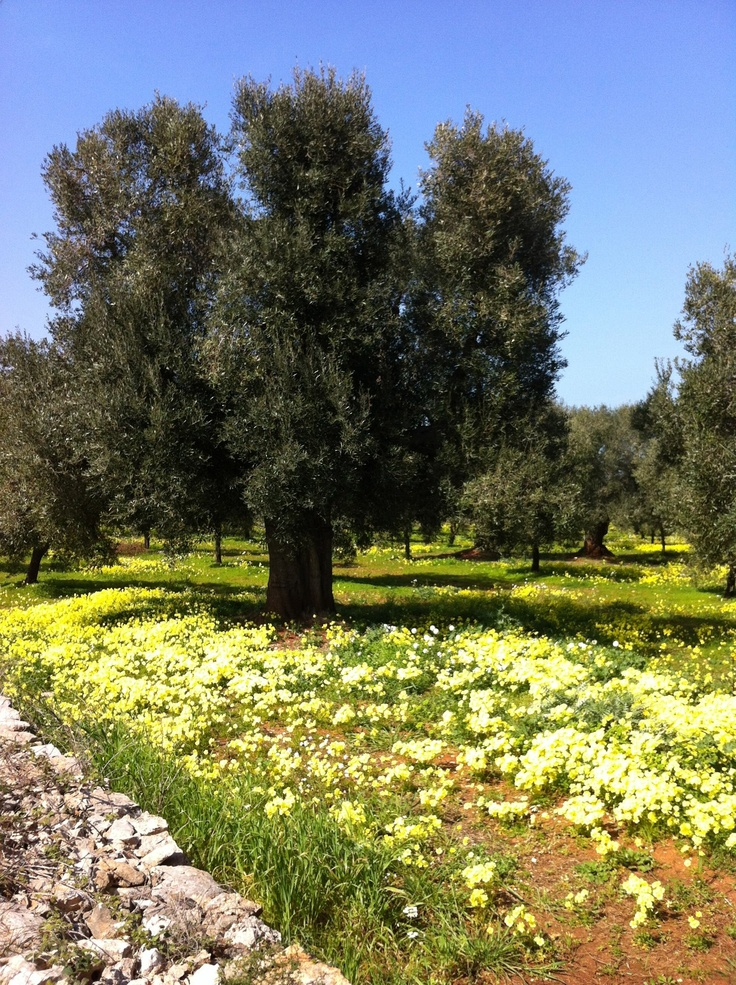 Olive tree in Salento Puglia... where the nature is full of colors