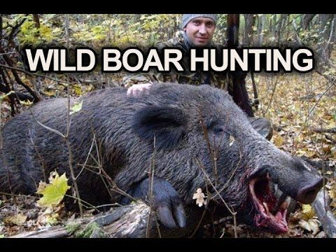 Best Wild Boar Hunting in Russia - Join us! https://www.facebook.com/TheRussianHunting/ _____________________________  #hunting #russianhunting #huntinginrussia #boarhunting #huntinginsiberia #russianboarhunting #wildboarhunting #besthunting #bestboarhunt