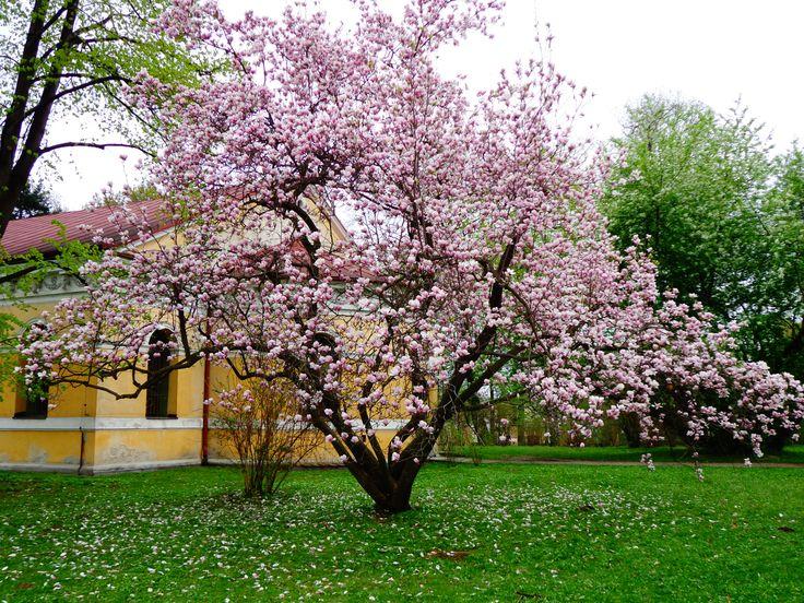 Łańcut - Piękna magnolia