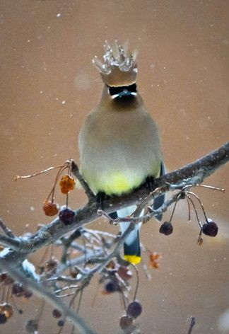 """Cedar Waxwing. Photo by Jessica Runner. """"After an icy night, this Ceder Waxwing had his crown frozen."""" birdsandblooms.com. 
