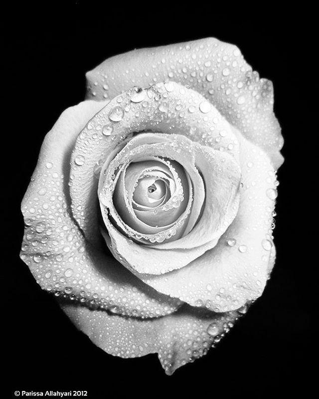 #rose #pink #bw #flower #blackandwhite  #drop #rain #rainy #drops #black #white