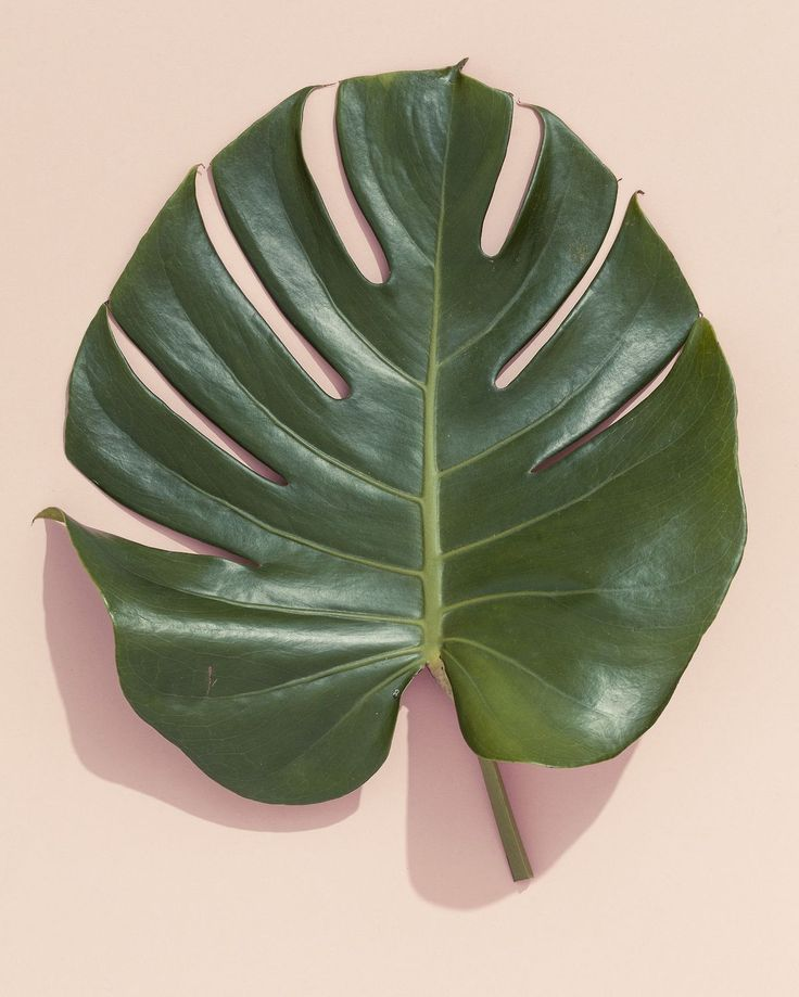green thumb | philodendron leaf