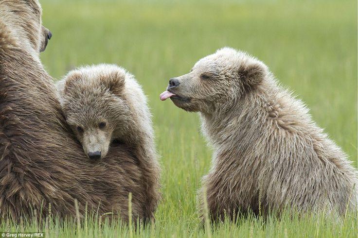 Cómo grosero: Un cachorro de oso marrón macho parece pegarse la lengua a su hermana despué...
