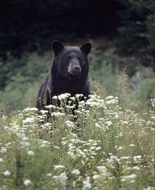 Black bear: Wild, American Black Bears, Natural Resources, Teddy Bears, Smiley, Beautiful, Rare Experiment, States Animal, Secret Animal