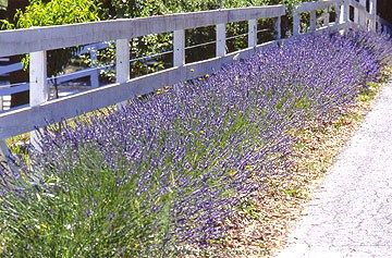 I love the idea of bordering a fence with lavender!! Why don't more people do this?  it is sooo beautiful!!