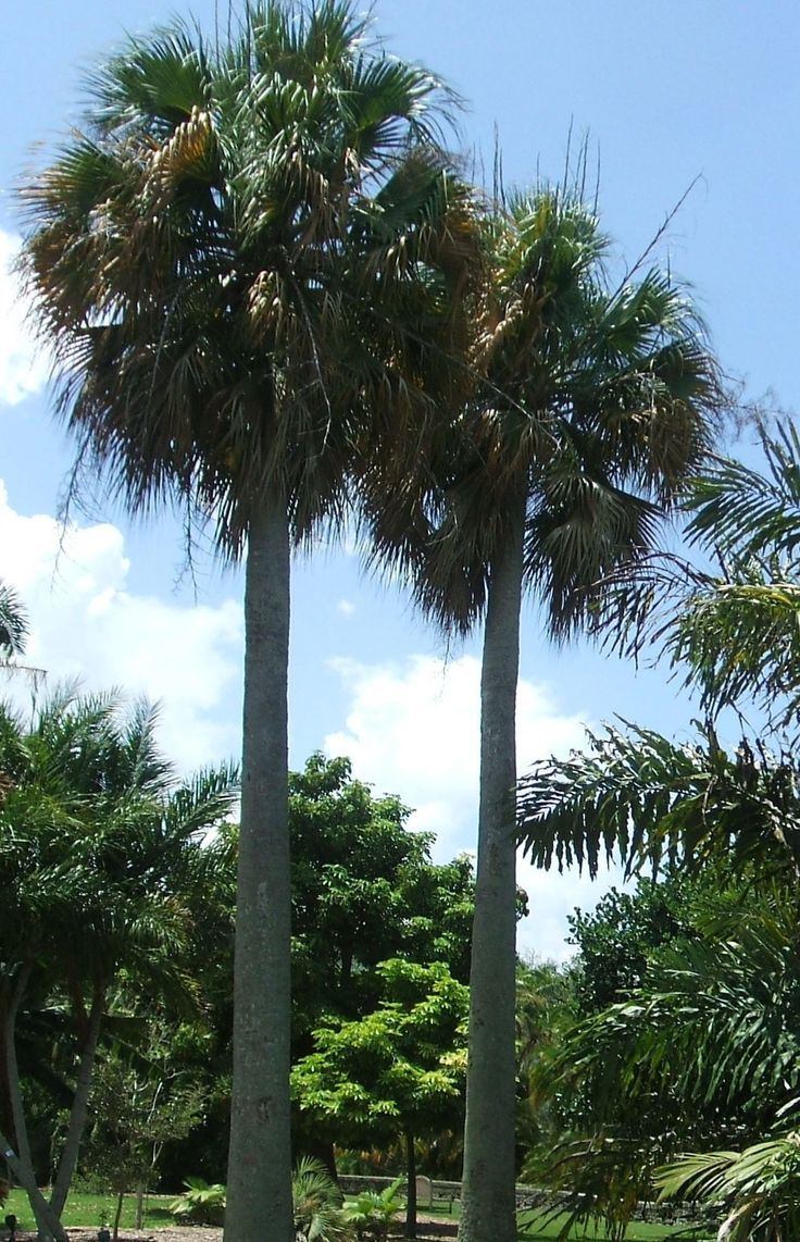 19 best Palm trees images on Pinterest | Feathers, Florida and Gardens