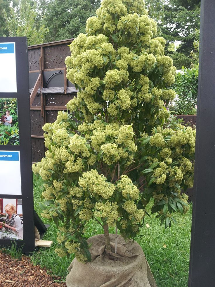 The Australian Lemon Myrtle Tree it's uses and Benefits are many and should really play a role now in nearly every Australian garden that has a temperate or sub tropical climate. Click the link or website image to find out more now about this truly wonderful tree that has been hidden away from most of the world for too long! Happy Gardening Marty Ware
