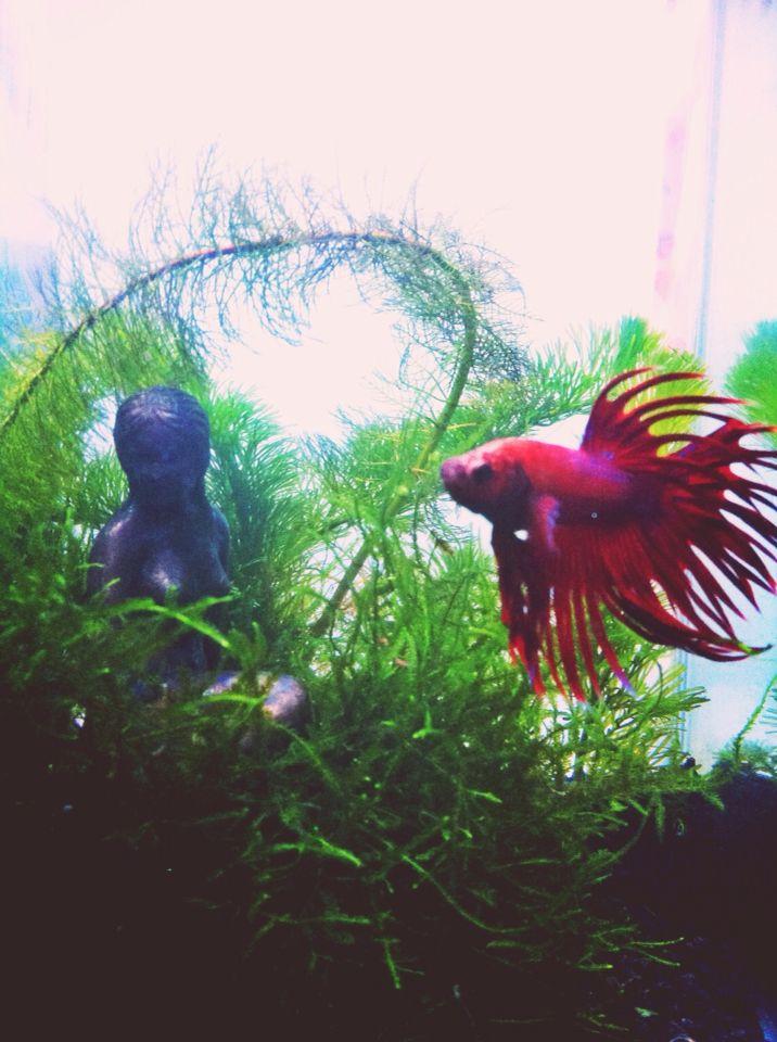 clown betta fish