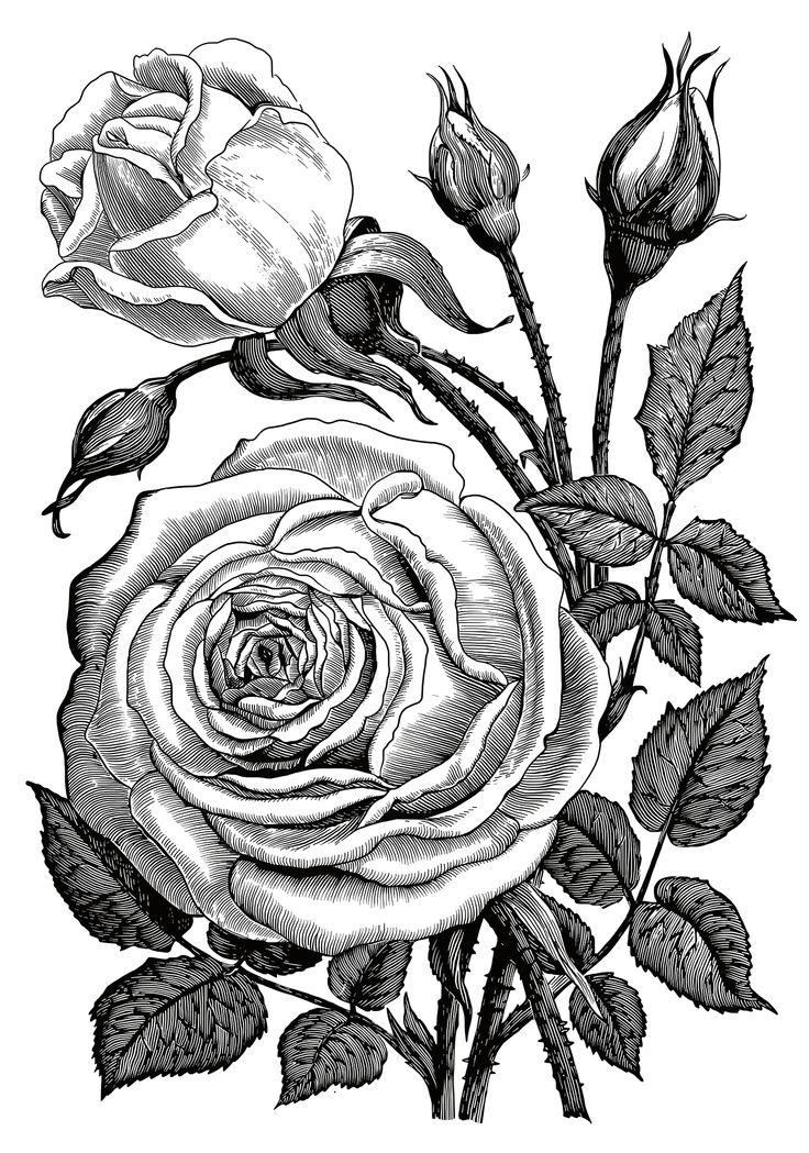Картинки черно белые роза
