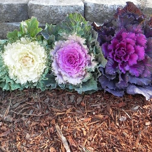 What Plant Food Is Good For Flowering Kale And Cabbage