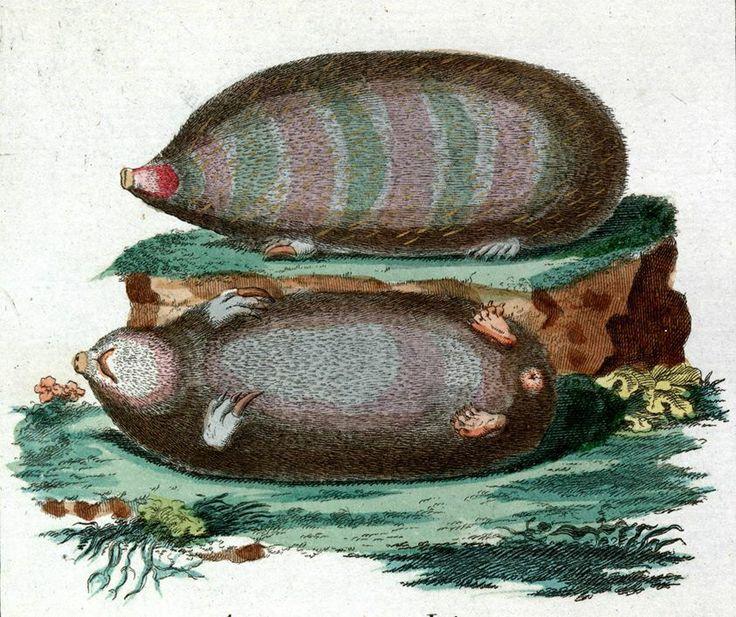 Złotokret z profilu i od strony brzusznej /Talpa asiatica, taupe dorée, Goldmaulwurf, the Sibirian mole/ (Borowski 1783)