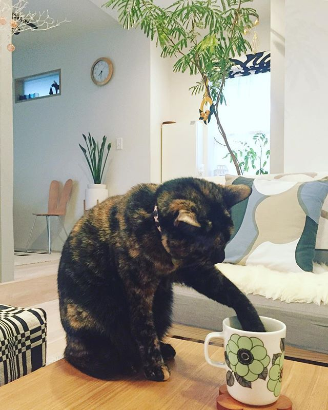 a true tortie always has to stick its paw in your drink!