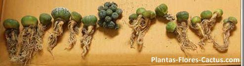 4 Tipos de raíces de cactus + Consejos de cultivo > Blog de Cactus | PFC
