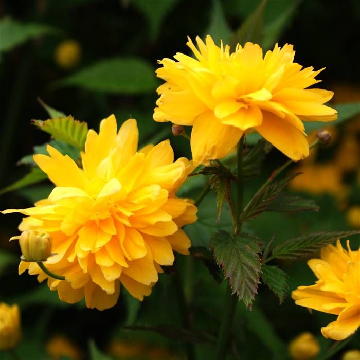 Yellow Rose Bush For Sale