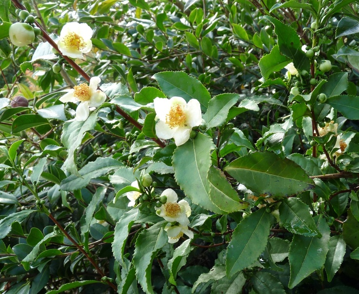 Camelia sinensis, the Botanical tea plant.