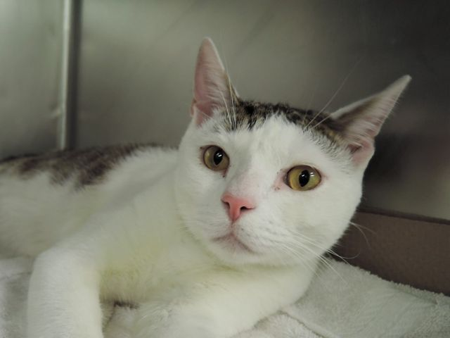 BASH - A1108958 - - Manhattan  ***TO BE DESTROYED 04/18/17*** BASH a playful 1 year old kitty with history of seizures. Lived with young child and was playful.  BASH was surrendered for pet health – no seizures while at shelter but will need full vet eval upon adoption.  BASH MUST BE RESERVED BY NOON!! -  Click for info & Current Status: http://nyccats.urgentpodr.org/bash-a1108958/