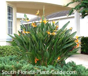 Orange Bird of Paradise Strelitzia reginae Nothing says South Florida living like orange bird of paradise, a natures work of art with exquisite flowers shaped like a bird in flight - or a crested birds head on long stems resembling the graceful neck of a crane.