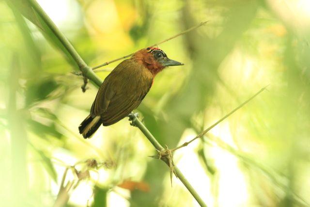 Foto pica-pau-anão-vermelho (Picumnus rufiventris) por Tomaz Melo   Wiki Aves - A Enciclopédia das Aves do Brasil