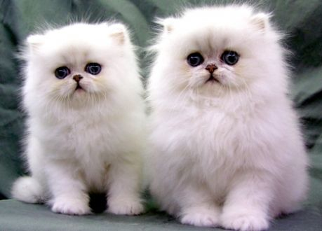 silver shaded chinchilla scottish fold/british long hair kittens