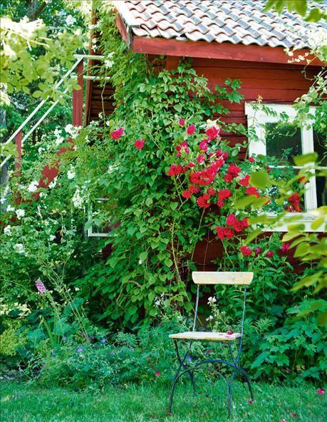 """""""Under några år blev jag helt besatt av rosor, köpte nya och planterade om. I dag finns ett hundratal sorter, främst gammaldags buskrosor, alla noggrant dokumenterade så de får rätt beskärning."""" Sammetsröda 'Flammentanz' lyser upp ett halvskuggigt hörn. Kanske inte den mest spännande rosen, men en pålitlig vän när kinkigare sorter trilskas. Till vänster vit mulliganros som stod still som en pinne i sex år, för att plötsligt ta fart och nu når taket."""
