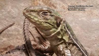 Peces tropicales de agua dulce.: Teius oculatus: dificultades de su mantenimiento en cautiverio.