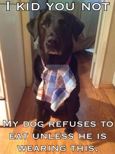 """""""I KID YOU NOT... My dog refuses to eat unless he is wearing this."""" ~ Dog Shaming shame - Labrador - A dog with good manners"""