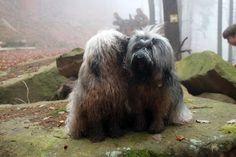 Aktuell - Tibet Terrier Welpen Rheinland-Pfalz, Rhodt unter Rietburg Aprill