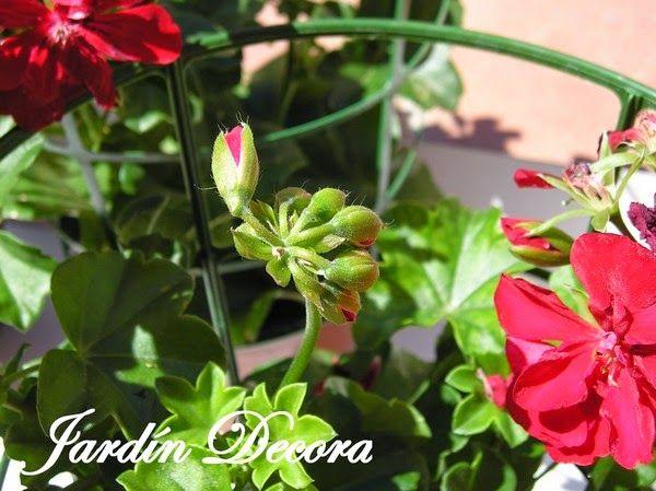 Jardin Decora: Geranios Rojos Colgantes